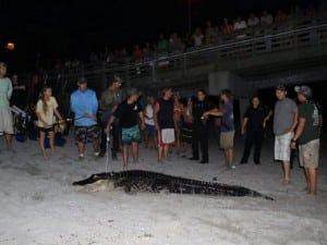 Tilden Law Alligator Caught